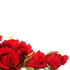 La langue des roses